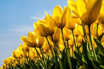 Veld gele tulpen van Ton de Koning
