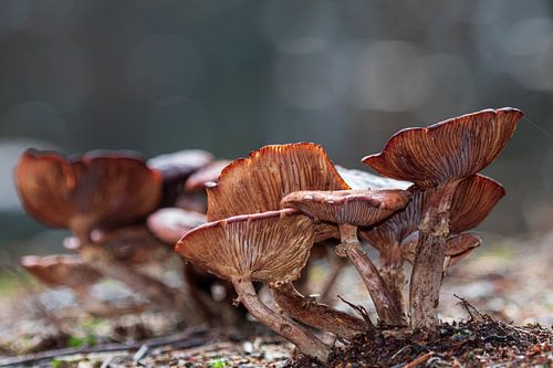 Champignon à lamelles brun