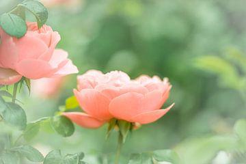 Rose von Jeroen Mikkers