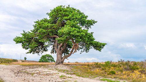 Prachtige boom op Archemerberg in Nederland