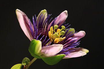 Passionsblume blühend von Karina Baumgart