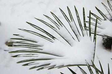 Palmplant in de winter von Roberto Zea Groenland-Vogels