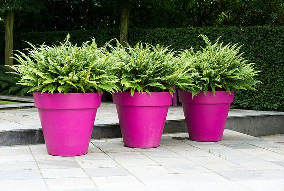 three purple vases with green plants