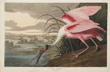 Rode Lepelaar - Teylers Edition - Birds of America, John James Audubon van Teylers Museum