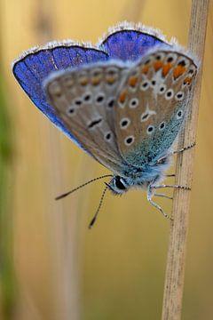 Icarusblauwtje van Peter Deschepper