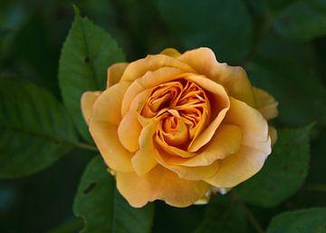 Rose in zartem orange von Anja B. Schäfer