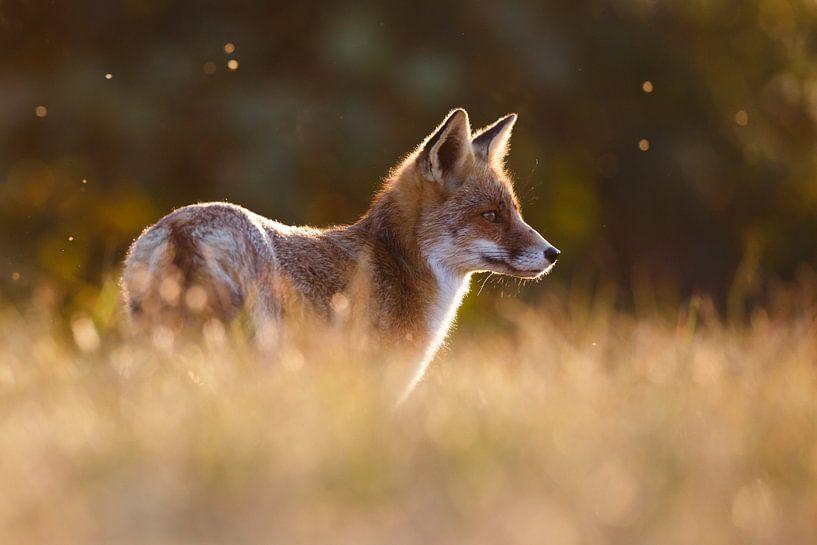 Een vos in mooi licht van Pim Leijen