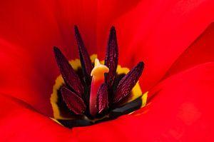 Vlammend  hart van een rode tulp 2