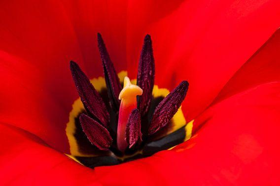 Vlammend  hart van een rode tulp 2 van Anouschka Hendriks