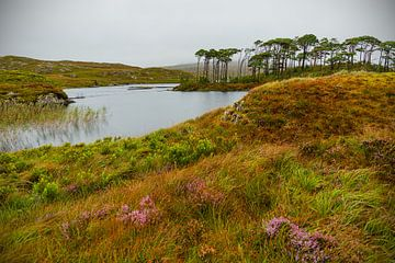 Ireland - Galway - Connemara - Pine Island