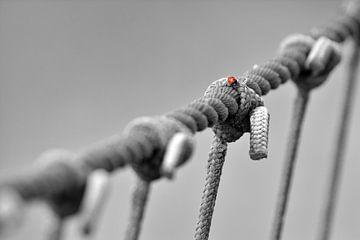 Lieveheersbeestje op vissersfuik Texel van