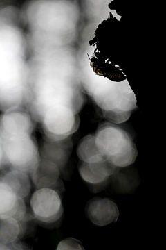 Leeg omhulsel van een cicade. sur Simon Hazenberg