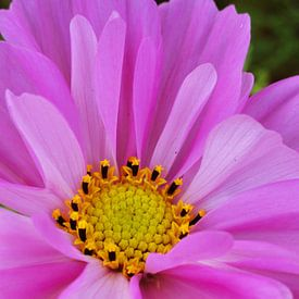 Roze bloem met een geel hartje van Lotte Veldt