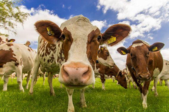 Nieuwsgierige roodbonte koeien