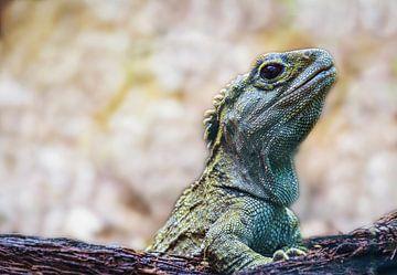 Lizard oder Tuatara, Neuseeland von Rietje Bulthuis