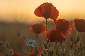 Klaprozen bloeien op het klaprozenveld van Marc-Sven Kirsch