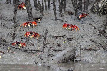 Krebse in den Mangrovenwäldern von Birdy Flying