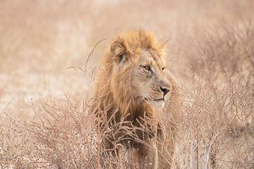 Löwe. von Francis Dost