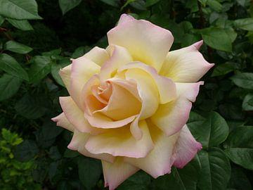 Rose - Morgenfrische. Gelbe Rose auf grünem Blatthintergrund von Paul Evdokimov