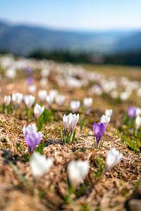 Krokusweide boven de nog licht besneeuwde Hündle in de lente van Leo Schindzielorz