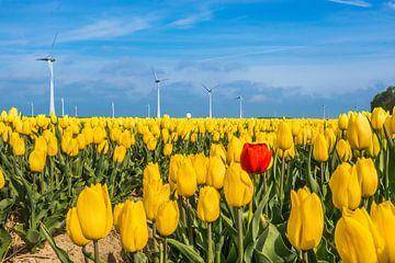 Rode tulp in het veld van Patrick Verhoef