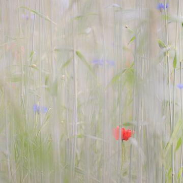 Verscholen veldbloemen - klaproos en korenbloemen von Paula Anglès