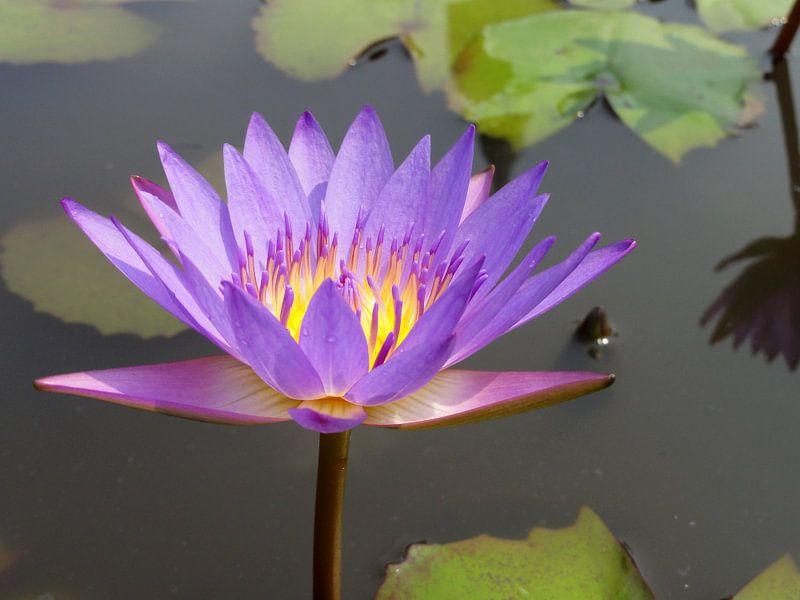 Lotusbloem violet van Lotte Veldt