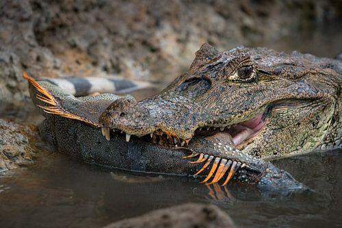 Kaaiman met gevangen leguaan - Cano Negro, Costa Rica