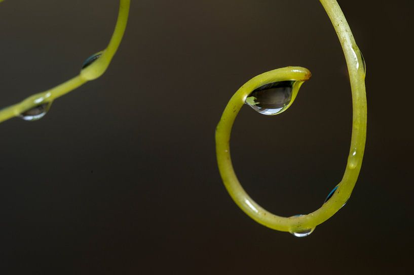 waterdruppels aan druivenranken van Compuinfoto .