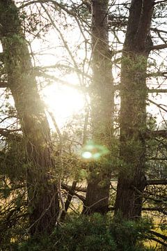 Zonnestralen schijnen door de bomen van