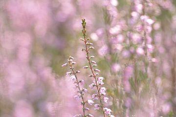 Heide bloei closeup, mooi roze (paars?) is niet lelijk! van Klaas Dozeman