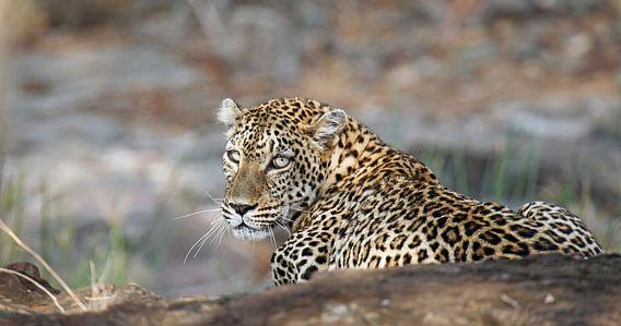Leopard - Africa wildlife van W. Woyke