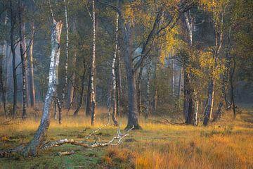 Mooi ochtend licht in de bossen van de Kampina.