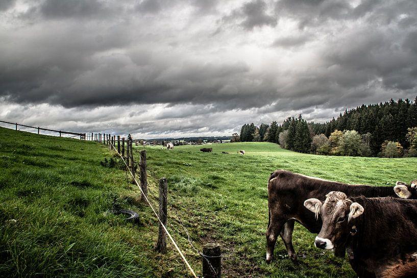 Koe van Arjan van Triest