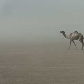 Chameau solitaire dans le désert en Afrique | Éthiopie sur Photolovers reisfotografie