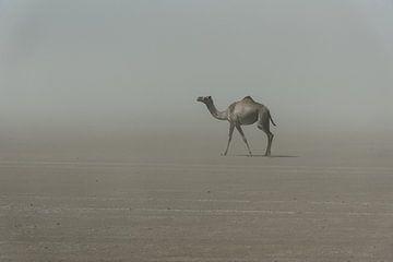 Chameau solitaire dans le désert en Afrique | Éthiopie