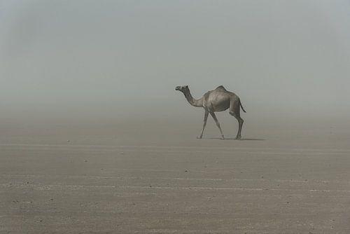 Eenzame kameel in de woestijn in Afrika | Ethiopië