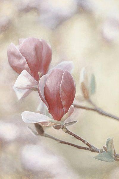 Magnolia Melancholia