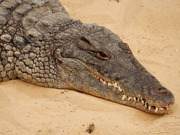krokodil van