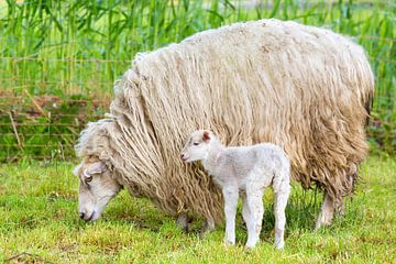 Langharig wit schaap met pasgeboren lam in wei van Ben Schonewille