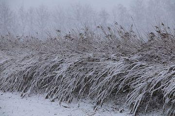 Besneeuwde rietstengels op het platteland.