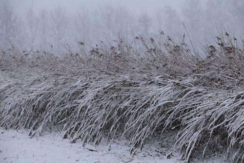 Besneeuwde rietstengels op het platteland. van