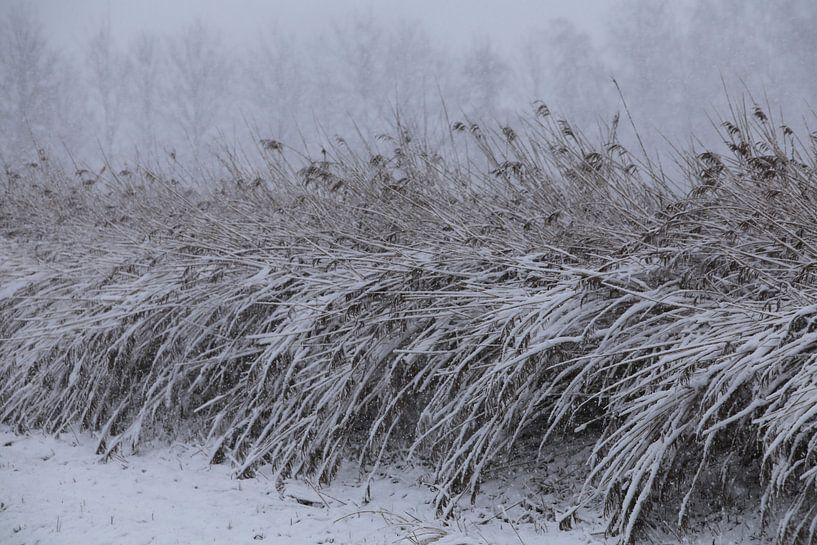 Besneeuwde rietstengels op het platteland. van Paul Wendels