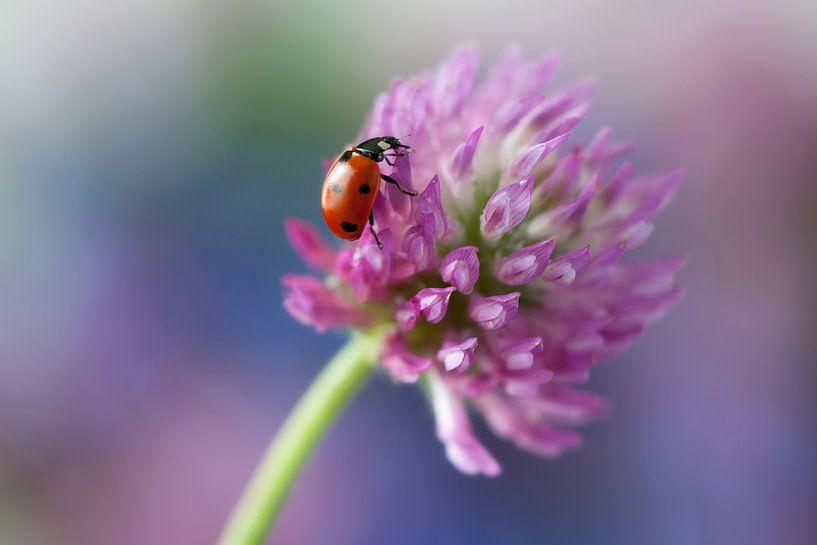 Lieveheersbeestje op een rode klaver van Tamara Witjes