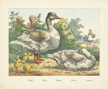 Ganzen, Firma Joseph Scholz, 1829 - 1880