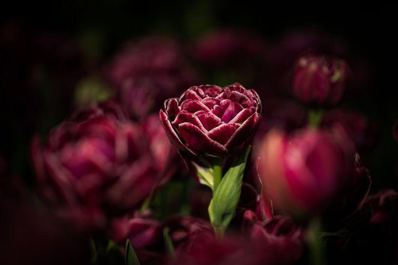 Donkere Tulp van Jovas Fotografie