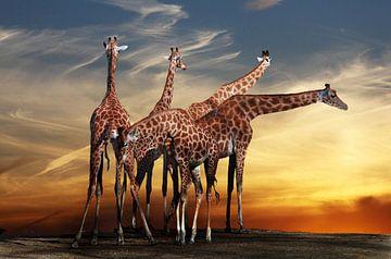 girafes vergadering, Anna Cseresnjes van 1x
