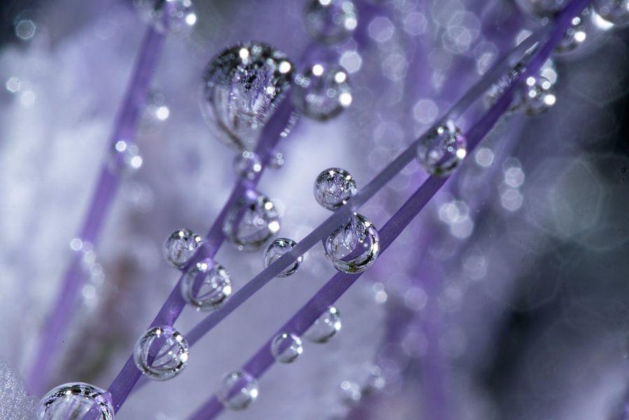 Bubbel Phacelia