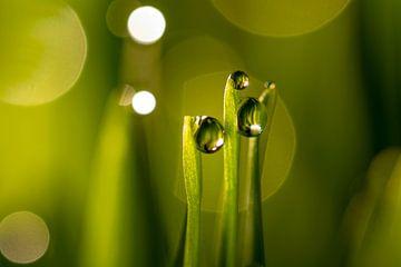 Waterdruppels op groene grassprieten