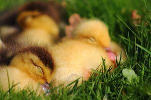 sleeping duck van